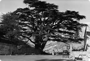 Global Warming effects on Cedars of Lebanon